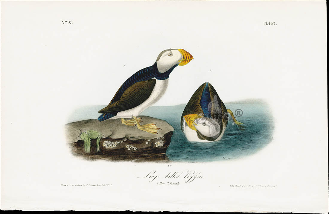 large billed puffin from audubon birds america 1840 first edition