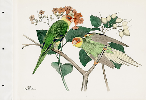 Rex Brasher Birds Carolina Paroquet Extinct