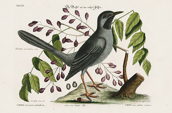 Mark Catesby Natural History Of Carolina Bird Prints 1768