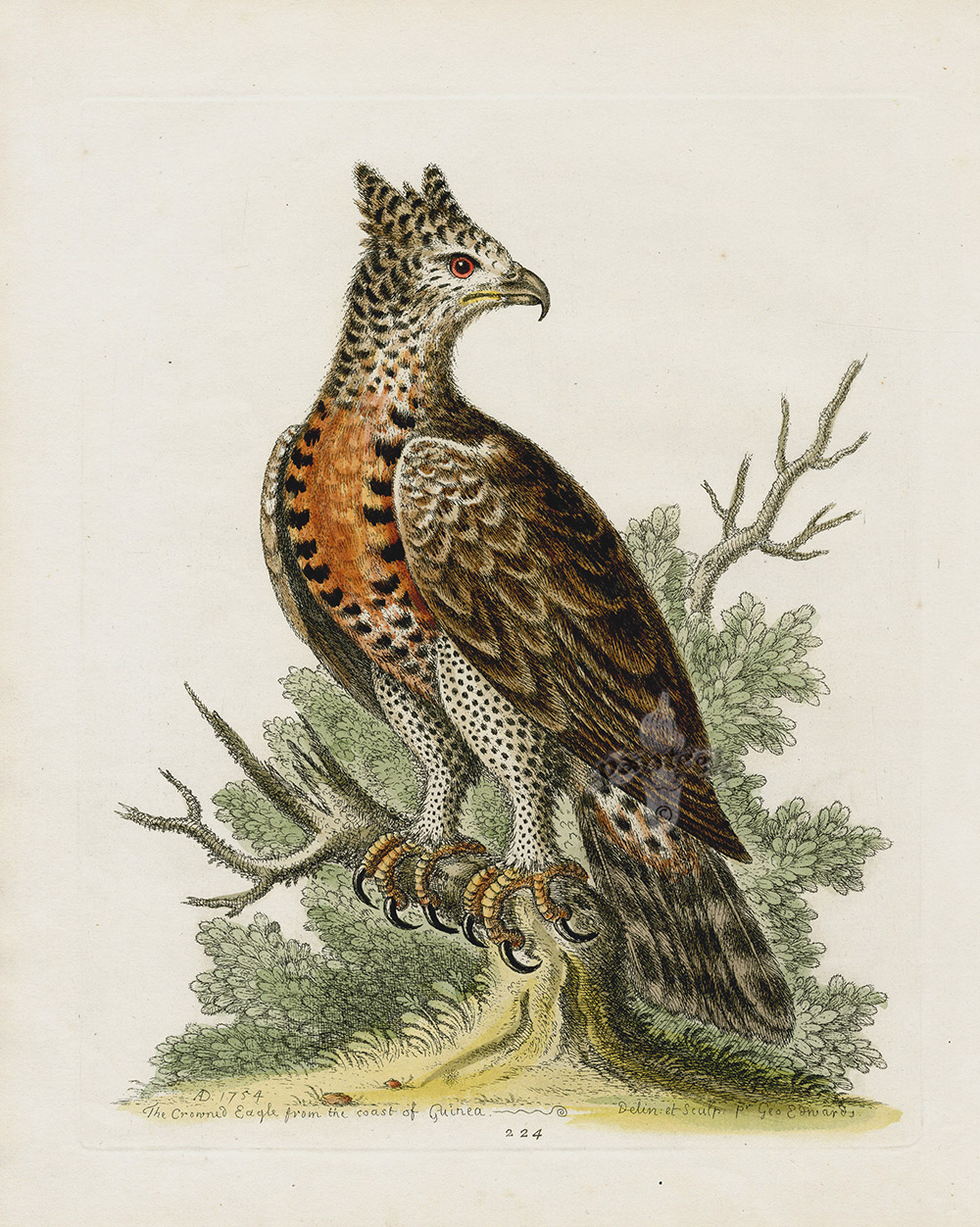 Crowned Eagle From The Coast Of Guinea George Edwards Antique Bird Prints 1743