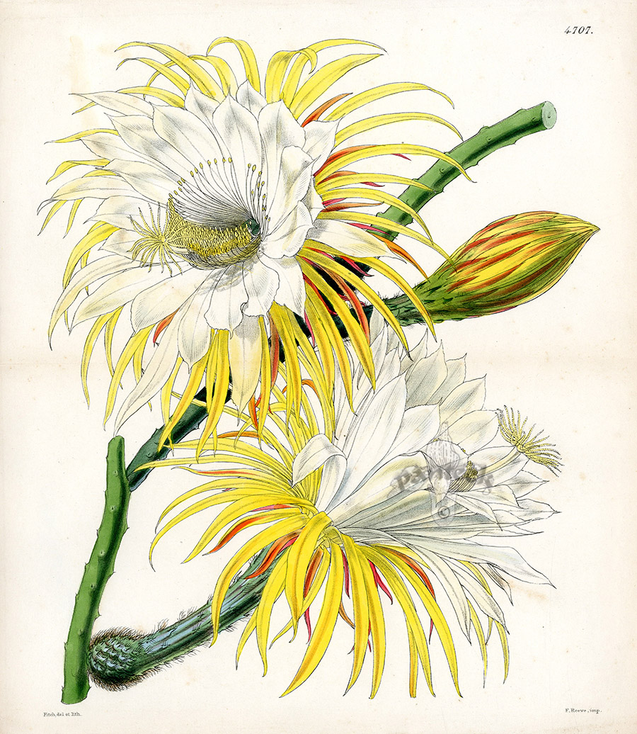 Cereus MacDonaldiae From Plants From Royal Garden Of Kew By W.H.Fitch  1853 1871