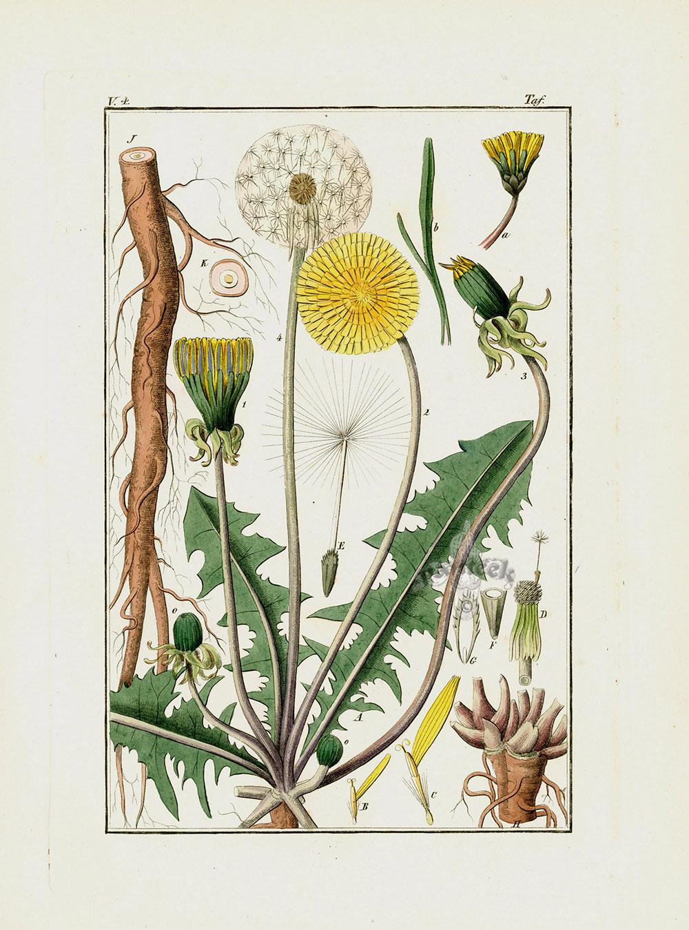 открытки ботаническая открытка одуванчик лекарственный лодке ошибке приплыли